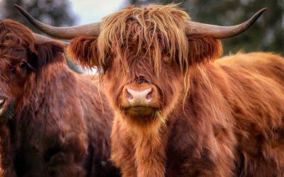 La vache, une sacrée mascotte!